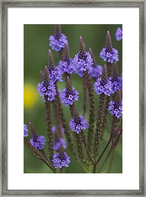 Blue Vervain Framed Print