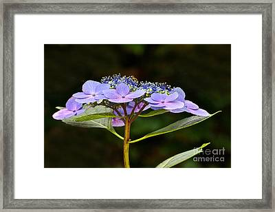Blue Wave Lacecap And Guest Framed Print by Byron Varvarigos