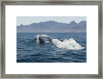 Blue Whale Framed Print by Christopher Swann