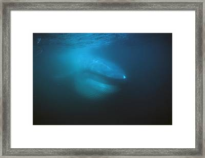Blue Whale Filter Feeding Sea Of Cortez Framed Print