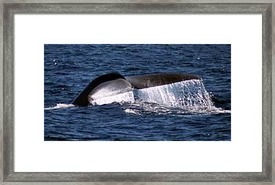 Blue Whale Flukes 2 Framed Print