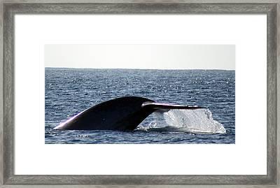 Blue Whale Flukes Framed Print