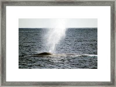 Blue Whale Spout Framed Print