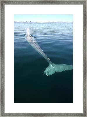 Blue Whale Surfacing Framed Print by Christopher Swann/science Photo Library