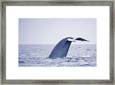 Blue Whale Tail Fluke With Remoras Framed Print