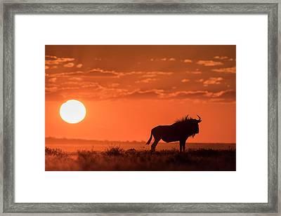 Blue Wildebeest At Dusk Framed Print by Tony Camacho/science Photo Library