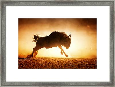 Blue Wildebeest Running In Dust Framed Print