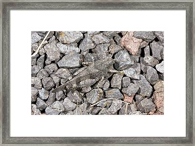 Blue-winged Grasshopper Framed Print by Bob Gibbons