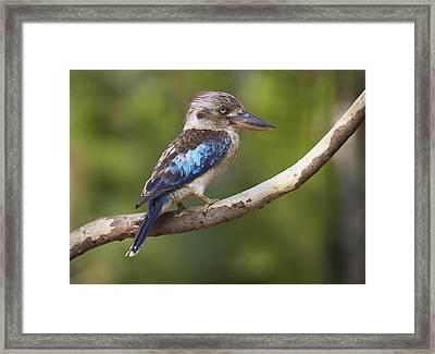 Blue-winged Kookaburra Queensland Framed Print by Martin Willis