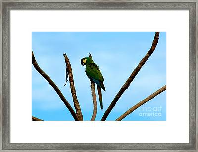 Blue-winged Macaw, Brazil Framed Print by Gregory G. Dimijian, M.D.