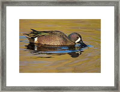 Blue-winged Teal (anas Discors Framed Print by Larry Ditto