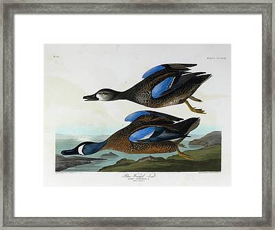 Blue Winged Teal Framed Print by British Library