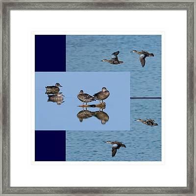 Blue Winged Teal Framed Print