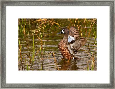Framed Print featuring the photograph Blue-winged Teal by Ram Vasudev