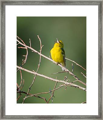 Blue-winged Warbler Framed Print