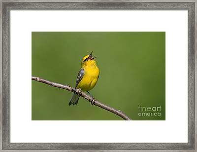 Blue-winged Warbler Framed Print