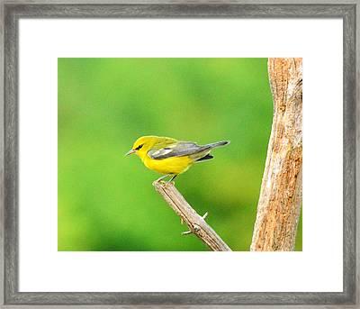 Blue-winged Warbler Framed Print by Judy Genovese