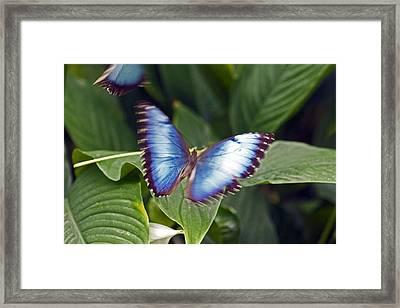 Blue Wings Framed Print