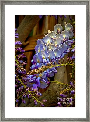 Blue Wisteria Framed Print