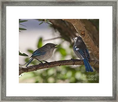 Blue Wrens 1 Framed Print