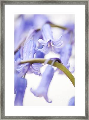 Bluebell Abstract Iv Framed Print by Anne Gilbert