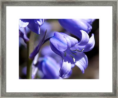 Bluebell Beauty Framed Print