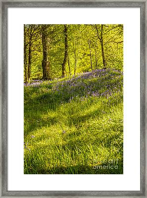 Bluebell Flowers Framed Print by Amanda Elwell
