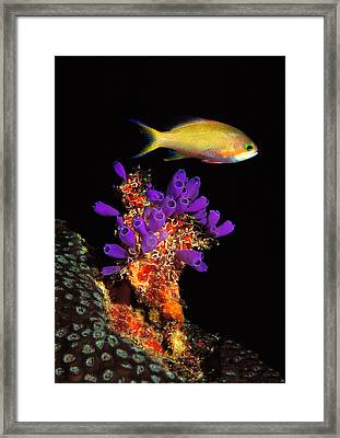 Bluebell Tunicate Clavelina Framed Print