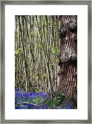 Bluebell Woodland Framed Print by Mark Rogan