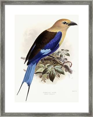 Bluebellied Roller Framed Print by Johan Gerard Keulemans