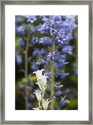 Bluebells 1 Framed Print by Steve Purnell