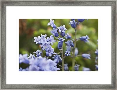 Bluebells 2 Framed Print by Steve Purnell