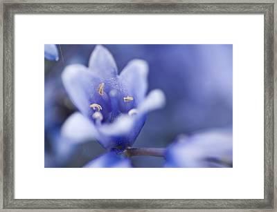Bluebells 5 Framed Print by Steve Purnell