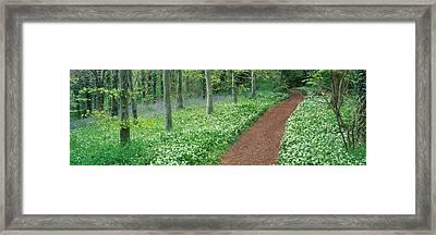 Bluebells And Garlic Along Footpath Framed Print