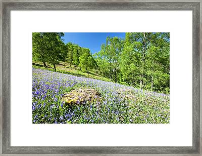 Bluebells And Woodland In Troutdale Framed Print