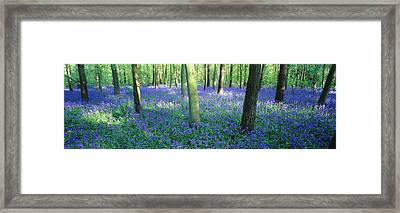 Bluebells In A Forest, Charfield Framed Print by Panoramic Images