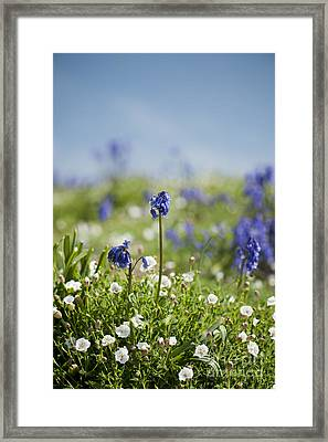 Bluebells In Sea Campion Framed Print by Anne Gilbert