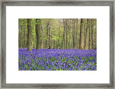 Bluebells Surrey England Uk Framed Print