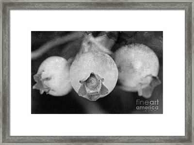 Blueberries On Bush Black And White Distressed Framed Print by Iris Richardson