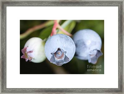 Blueberries On Bush Framed Print by Iris Richardson