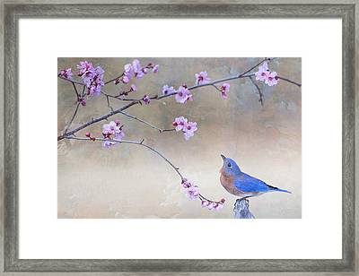 Bluebird And Plum Blossoms Framed Print by Bonnie Barry