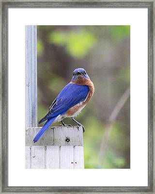 Bluebird  Framed Print by Brad Fuller
