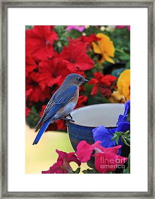 Bluebird Breakfast Framed Print