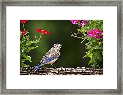 Bluebird Chick Framed Print