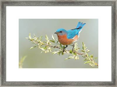 Bluebird Floral Framed Print by William Jobes