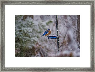 Bluebird In Snow Framed Print