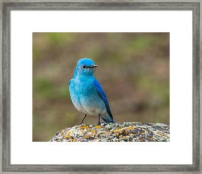 Bluebird In Yellowstone Spring Framed Print