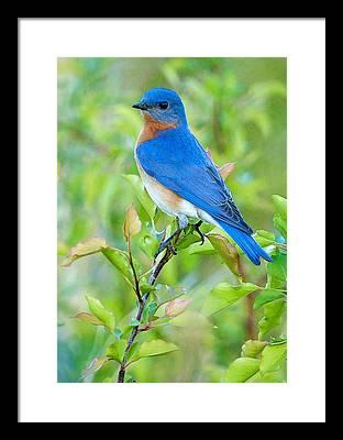 Bluebird Photographs Framed Prints
