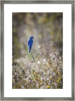 Bluebird Meadow Framed Print by Bradley Clay