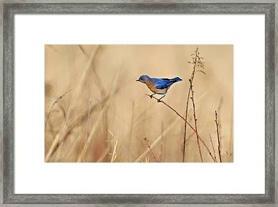 Bluebird Meadow Framed Print